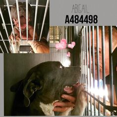🚩URGENT 🚩SICK!!!! 8/5 🚩🚩🚩🚩07/30/15- Pit a 🚩Boo and The San Bernardino Pups 1 hr · ABIGAIL #A484498 (MUST EXIT ON 7/28) I am a female, blue and white Pit Bull Terrier. Shelter staff think I am about 7 years old. I have been at the shelter since Jul 21, 2015. If I am not claimed, after my stray holding period, I may be available for adoption on Jul 28, 2015. For more information about this animal, call: San Bernardino City Animal Control at (909) 384-1304 Ask for information about animal ID