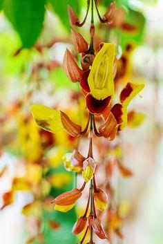 Thunbergia mysorensis. Rob Cardillo for The New York Times