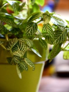 Buy Mosaic Plant (Fittonia)