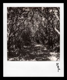 Wallace Polsom, Hidden (01 August 2016), instant photo taken with a vintage SX-70 Land Camera and Impossible Project B&W SX-70 film. Photo was taken on a sunny morning, with the SX-70's lighten/darken control set right in the middle. The photo, Hidden in Summer, was taken in the same spot on 09 April 2016.