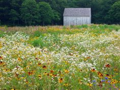 Next year I'm going to fill our ditch w wild flowers. If they won't pave our roads, f-$& 'em.   Bunny Mellon's Cape Cod Garden, meadow