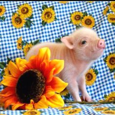 The teacup pig.
