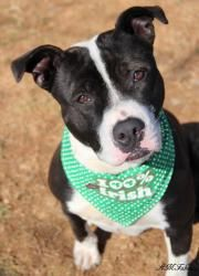 Enzo is an adoptable Pit Bull Terrier Dog in Front Royal, VA. Hi, my name is Enzo. I got lost one day and ended up at the shelter. My family never came to find me, so now I'm looking for a new home....