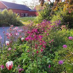 This evening #columbine #flowerbed #gardening #gardenlove #gardenlife #trädgård #trädgårdsliv #have #haken #jardin #sweden #sverige #nordic