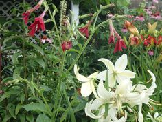 2015 July, nicotiana and lily