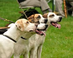English Foxhounds. This is what my dog looks like