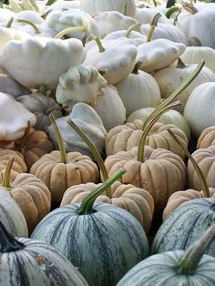 Heirloom pumpkins...striped pepins, pale kudzoos and white patty pans...all from Baker Creek Seeds