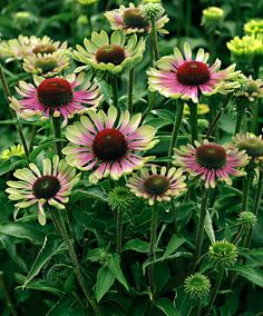 Graceful Gardens has hundreds of perennials and deer resistant plants for a garden that will bloom all summer long. Large Flowers, Cut Flowers, Colorful Flowers, Pink Flowers, Beautiful Flowers, Beautiful Pictures, Deer Resistant Perennials, Sun Perennials, Sun Plants