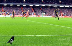 英リバープール(Liverpool)で開催のサッカーの試合で、ピッチに降り立ったカササギ(2010年4月29日撮影、資料写真)。(c)AFP/PAUL ELLIS ▼20Aug2014AFP|俗説「カササギは宝石泥棒」は誤り、英研究 http://www.afpbb.com/articles/-/3023544 #Eurasian_magpie #Pica_pica #Pie_bavarde #Elster #Magpie_erasia #Ekster #Sroka_zwyczajna #Pega_rabuda