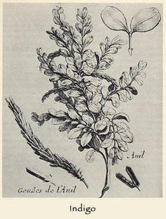 botanical illustration: indigo plant