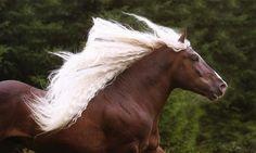 horse gallop. (chocolate palomino?)