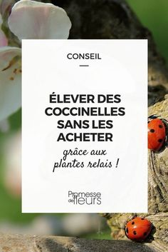 Des larves de coccinelles, sans les acheter : vive les plantes relais !