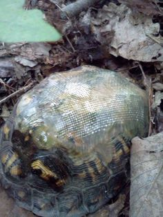 This turtle was re-shelled after the poor thing got hit by a car. Not many turtles have fibreglass carapace!