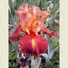 Charged Up - Tall Bearded Iris --want it
