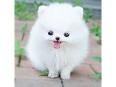 Things You Need to Know Before Buying a Pomeranian Husky Dog