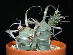 Tephrocactus articulatus var. papyracanthus - Paper Spine Cactus