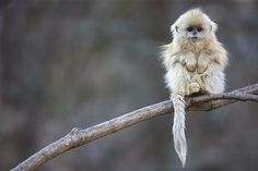 """Langur Chato: David Attenborough once said that these wonderful monkeys are like """"elves."""" It is found in Asia, at a height of up to 13,000 feet. These primates with a short stump for nose are rarely seen. These strange monkeys have become critically endangered because of deforestation"""