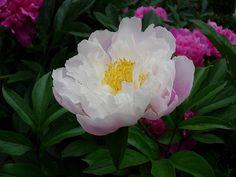 Peony, Blossom, Bloom