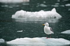 Glaucous Winged Gull - Kenai Fjords National Park