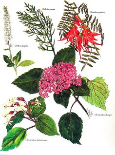 Flower Print  Genera Colletia Clethra Clianthus