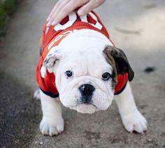 "This little guy says ""Go Broncos! Go Broncos, Denver Broncos, French Bulldog, Football, Puppies, Orange, Guys, Blue, Animales"