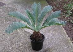 The sago palm has a reputation of being a tough tree that can take a wide range of temperatures and soil conditions. However, providing ideal sago palm soil requirements is far more important. So what kind of soil does a sago need? Learn more here. Plants Poisonous To Dogs, Cat Safe Plants, Cat Plants, Harmful Plants, Deadly Plants, Planting Pumpkins, Planting Bulbs, Planting Flowers, Tree Planting
