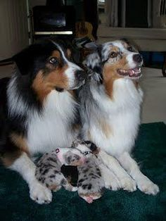 Australian Shepherds: Proud Papa and Momma #AustralianShepherd