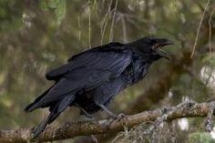 Ravenkoppel ontdekt in de Kleine Meer - Ossendrecht | Natuurmonumenten
