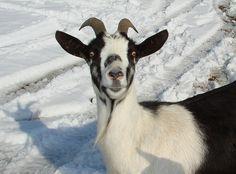 Alpine Goat | Flickr - Photo Sharing!