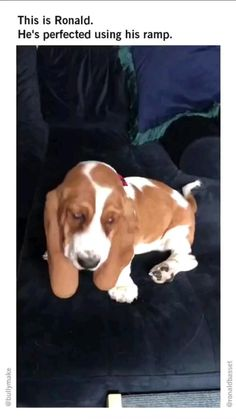 1. Tag, Basset Hound, Beautiful Dogs, Role Models, Cute Dogs, Your Dog, Puppies, Photo And Video, Animals