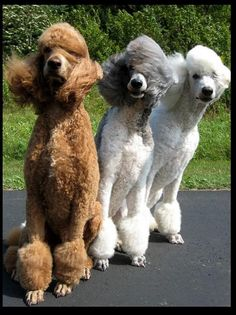 Standard Poodles in the breeze.