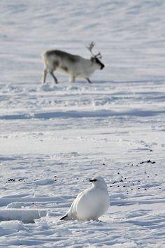 Svalbard Ptarmigan and Reindeer in Adventdalen   Algot Kristoffer Peterson