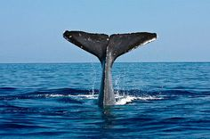 Humpback whale season happening now in the islands