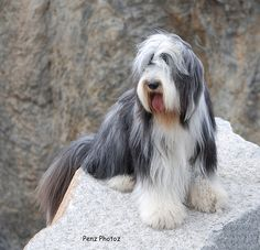 Bearded Collie....one of the best