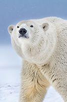 Polar bear portrait | AlaskaPhotoGraphics.com