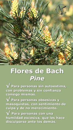 #flores #de #bach #autoestima #pine #beneficios #en #español #terapia #terapias #alternativas #remedios #infografia #ilustraciones #propiedades