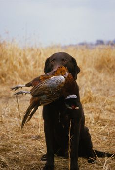 A beautiful chocolate lab looking so proud of his retrieve. #Dogs #Hunting #Pheasants