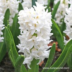 White hyacinth...the most fragrant of all hyacinths