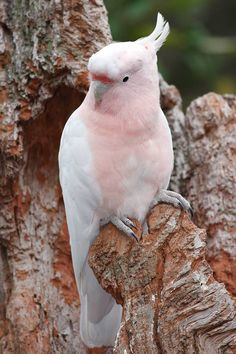 Pink Cockatoo a.k.a. Major Mitchell's Cockatoo (Lophochroa leadbeateri) in Australia by Flagstaffotos.com.au