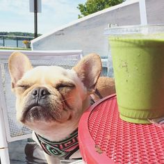 Leo is dreaming of his favorite Green Drink, French Bulldog @frenchieleo on Instagram