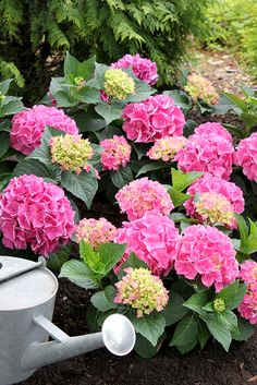 Cityline Vienna hydrangea is the smallest of the series, staying a compact 1-3' tall and wide - no pruning!