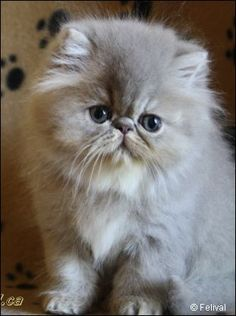 Caring for a Persian Cat. The Persian cat, with its majestic and elegant appearance, is one of the best known and most appreciated breeds in the world; Kittens And Puppies, Cute Cats And Kittens, I Love Cats, Crazy Cats, Cool Cats, Kittens Cutest, Pretty Cats, Beautiful Cats, Animals Beautiful