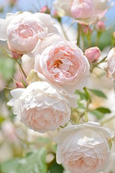 Low Cost Flowers Shipping And Delivery - An Anniversary Reward Without A Significant Selling Price Tag Rose Madame Figaro , Delrona , Bred By G. Beautiful Roses, Beautiful Gardens, Pink Roses, Pink Flowers, Tea Roses, Exotic Flowers, Yellow Roses, Photo Rose, David Austin Roses