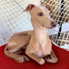 Dante the Italian greyhound.