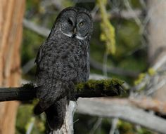 Digital sound systems have moved from the living room to the forest. In Yosemite, Calif., researcher are using digital mp3 recorders to used to study a rare species of great gray owl.