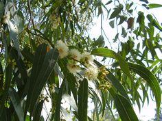 File:Eucalyptus globulus (15345095225).jpg