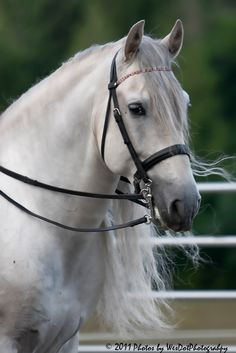 Andalusian Equine - Horse Photography