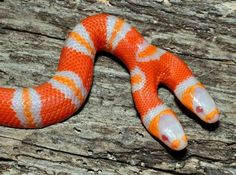 The two headed snake, such a potent image and symbol and - perhaps albino too?
