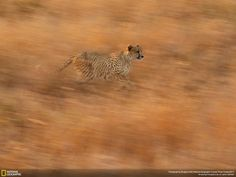 Wild Cats - The 35 Most Spectacular Wildlife Photos From The National Geographic Photo Contest National Geographic Photo Contest, National Geographic Travel, Wild Life, Kruger National Park, National Parks, Beautiful Creatures, Animals Beautiful, Cheetah Photos, Concours Photo