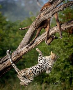 This extraordinary image was taken in the Okavango Delta, Botswana. Unusual to see a leopard lose its footing in a tree, and astonishing timing to capture the image! Head for the bush - click on pic to find where to stay in the Okavango Delta, Botswana. 📸 @charl_stols Post via @ krugerexplorer Big Cats, Cats And Kittens, Quokka, Cute Giraffe, Cute Animal Videos, African Animals, African Cats, Cat Boarding, German Shepherd Puppies